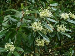 20130528_LismoreCastle_DrimysWinteri_Cutler_P1470649 (wlcutler) Tags: winteraceae drimys drimyswinteri