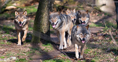 WolfPack (Borreltje.com) Tags: ouwehands dierenpark dierentuin zoo animals animal wildlife natrure