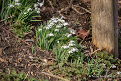 Snowdrops (Ashley Middleton Photography) Tags: inglesham riverthames england europe flower flowers plant plants river snowdrop unitedkingdom wiltshire lechladeonthames gloucestershire