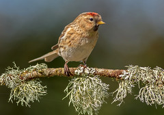 JWL3088  Redpoll.. (Jeff Lack Wildlife&Nature) Tags: redpoll redpolls lesserredpoll birds avian animal animals wildlife wildbirds woodlands wildlifephotography jefflackphotography farmland forest finch finches pineforest pines trees songbirds gardenbirds nature