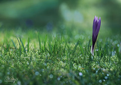 Yes, Spring! III (Monika Müthing) Tags: spring crocus meadow green grass purple bokeh blossom flower natureinfocusgroup