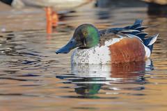 Northern Shoveler (M) (JDA-Wildlife) Tags: birds nikon nikond7100 tamronsp150600mmf563divc jdawildlife johnny portrait closeup eyecontact ducks northernshoveler wow