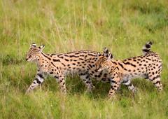 Servals (Photobirder) Tags: servals servalmotherwithkit eastafrica masaimara kenya