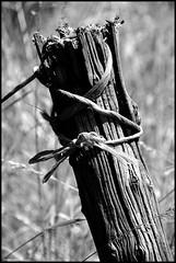 Ruillé sur Loir (Sarthe) (gondardphilippe) Tags: ruillésurloir sarthe maine paysdelaloire noiretblanc noir nb blanc blackandwhite bw black white nature campagne pieu champ field extérieur graphique loir leloir monochrome macro outdoor old quiet rural ruralité texture vieux zen