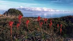 Un enchantement, surplombant l'océan,  Aloes  arborescents. (jmollien) Tags: portugal algarve lagos ocean atlantique aloesarborescent landscape paysage beautiful photographie photography amateur europe