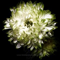 two mums (Beth Crawford 65) Tags: wildlife flowers flora blackbackground dramaticlighting lighting innocent white feminine romantic love soft beauty texture delicate bethcrawford lookphotographygalleryphotogirlbeth