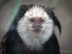 White-headed marmoset (JKmedia) Tags: whiteheadedmarmoset monkey primate animal mammal zoo boultonphotography newquayzoo 2019