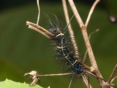 Tiger moth caterpillar, Dysschema sp. (Ecuador Megadiverso) Tags: andreaskay arctiidae arctiinae caterpillar dysschemasp ecuador erebidae spiny tigermoth