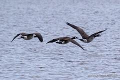 IMG_0313329 (Ashley Middleton Photography) Tags: coatewatercountrypark swindon animal bird canadagoose england europe goosegeese unitedkingdom wiltshire