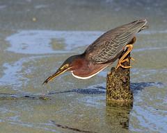 Strike of a Green Heron (Mark Schocken) Tags: butoridesvirescens greenheron heron schockenphotography markschocken