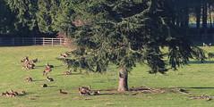 Resting (jdathebowler Thanks for 3 Million + views.) Tags: resting reddeer countryside countryview countryscene ruralscene ruralsetting trees harewood leeds westyorkshire yorkshire england
