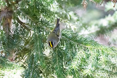 Golden-crowned Kinglet. USA Sept 2017-00688 (Peter-D-Smith) Tags: canonef100400mmf4556lisusm canoneos5dmkiii colorado glaciergorgejunction glaciergorgejunctiontrailhead glaciergorgeandthelochtrails goldencrownedkinglet regulussatrapa rockymountainnationalpark september2017 usa