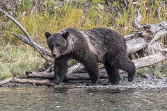 Eye Contact (gecko47) Tags: animal mammal bear ursosarctos northamericanbrownbear grizzlybear cub secondyear chilkoriver cariboo britishcolumbia hemmingsphototours chasingsalmon chilcotin