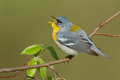 Northern Parula - New York (www.studebakerstudio.com) Tags: northern parula northernparula warlber allegheny bird warbler singing song spring