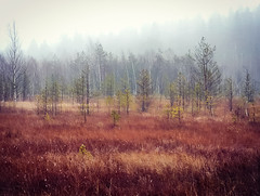 A Swamp View (Topolino70) Tags: huaweip20pro swamp pog suo nature fall autumn syksy ruska tree