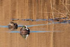 American Wigeon (mattbpics) Tags: waterfowl duck americanwigeon canon 70d tamron 150600 150600mm stewartbmckinney nwr