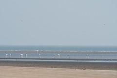 Flamingos on the Coast (iamfisheye) Tags: 300mm vr february nikon f4 modhvabeach india d500 naturetrek xqd afs tc14iii pf 2019 gujarat raremammalsandbirdsofgujarat