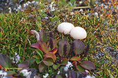 73° 15' N. Bylot Island, Nunavut, Canada (schneider.wk) Tags: bylotisland byammartinmountains nunavut canada fungi arctic plants