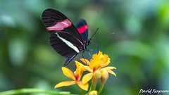 The Red Postman Butterfly (Daveoffshore) Tags: butterfly insect leaf plant flower wing colour colourful vivid red postman