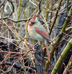 Female Northern cardinal in the rain (carpingdiem) Tags: cardinal birds indianapolis 2019 spring