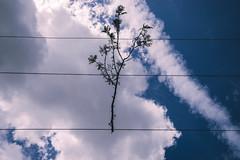 Branched (Leighton Wallis) Tags: sony alpha a7r mirrorless ilce7r 55mm f18 emount brisbane newfarm qld queensland australia branch tree clouds powerlines