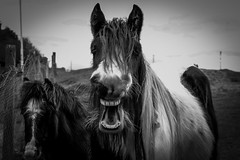 Smile 2 . (wayman2011) Tags: colinhart fujifilmxf50mmf2 fujifilmxt1 lightroom5 wayman2011 bw mono rural villages horses pennines dales teesdale cockfieldfell cockfield countydurham uk