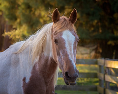 Echo (danniearmstrong) Tags: pony coloured equine horses green nature fence