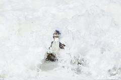 African Pinguin (about-nature) Tags: brillenpinguin classaves classbirds continentafrica countrysouthafrica familiepinguine familyspheniscidae gattungpinguine genusspheniscus klassevögel kontinentafrika landsüdafrika orderpenguin ordnungpinguine speciesafricanpenguin speciesspheniscusdemersus bettysbay westkap südafrika za