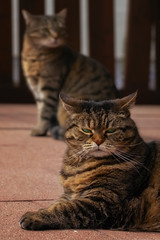 Cleo and company (FocusPocus Photography) Tags: cleo sethi katze cat chat gato tier animal haustier pet gesellschaft company schlechtelaune badmood tabby