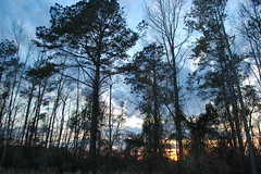 Trees In The Woods. (dccradio) Tags: lumberton nc northcarolina robesoncounty outdoor outdoors outside nature natural sky tree trees woods wooded forest march monday spring springtime evening mondayevening goodevening nikon d40 dslr cloud clouds