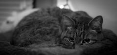 Day 14 of 365 - Cozy (gcarmilla) Tags: cat cozy 365 365project gatto
