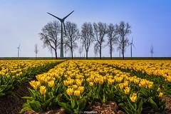 Tulip fields (Antoni Figueras) Tags: tulip fields netherlands yellow trees windturbine windmill spring landscape europe sonya7riii sony24105f4 antonifigueras