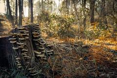 Fungus (jorgeverdasca) Tags: landscape morninglight nature woodland mushrooms fungus forest sintra portugal