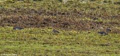 Gallinago gallinago - Snipe Feeding (margaretc1946) Tags: snipe ashleworthham pentaxk3 sigma150500mmlens