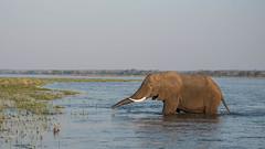 Anticipating (Tris Enticknap) Tags: africanelephant zambia elephant lowerzambezi africa loxodontaafricana