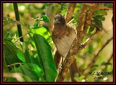 COMMON OR BLACKED-CAPPED BULBUL (Pycnonotus barbatus)......MASAI MARA......SEPT 2018. (M Z Malik) Tags: nikon d3x 200400mm14afs kenya africa safari wildlife masaimara keekoroklodge exoticafricanwildlife exoticafricanbirds birdsofeastafrica ngc