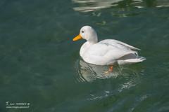 Canard Colvert - 6846 (Luc TORRES) Tags: annecy auvergnerhônealpes colvert faune france hautesavoie lacdannecy nature oiseaux palmipède pays