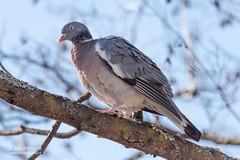 Pigeon colombin - 6943 (Luc TORRES) Tags: annecy auvergnerhônealpes columbidés columbiformes faune france hautesavoie lacdannecy nature oiseaux pays pigeoncolombin