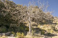 DESNUDEZ (Asomados al Mundo) Tags: alpujarra alpujarras árbol