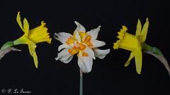 Narcisse 03 (letexierpatrick) Tags: narcisse nature fleurs flowers fleur flower floraison fondnoir black noir printemps proxiphotographie colors couleurs couleur jaune jardin coeurdefleurs garden bouquet nikond7000 nikon france europe explore