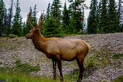 Deer-gazing-while-grazing-wildlife-Jasper-Canada.jpg (yobelprize) Tags: trees national wildlife forest calgary yobelmuchang banff canada park animals yobel deer animal lakelouise alberta ca