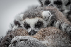 Ring Tail Lemurs Snoozing (chrisellis211) Tags: lemur ringtaillemur ringtail animal nature wildlife wildanimals sleep peace canon 80d canon80d telephoto