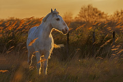 Camargue horse at sunset (JLM62380) Tags: coucherdesoleil sunset cheval light white blanc camargue france nature chevaux horse saintesmariesdelamer animal ciel arbre champ