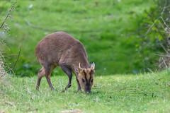 muntjac stag feeding (Rivertay07 - thanks for over 5 million views) Tags: muntjacdeeer deer barkingdeer mastreanideer muntiacusreevesi horns richardstead rivertay copyrightprotected