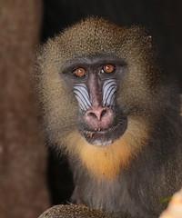 mandrill artis 094A0169 (j.a.kok) Tags: animal artis africa afrika aap mammal monkey mandril mandrillussphinx mandrill zoogdier dier primate primaat