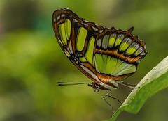 Exotischer Schmetterling (Fritz Zachow) Tags: schmetterling schmetterlingspark holmseppensen buchholz niedersachsen deutschland insekten blatt blume
