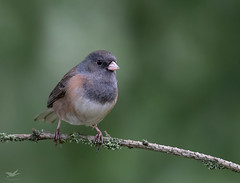 Dark-eyed Junco I (dennis_plank_nature_photography) Tags: avianphotography darkeyedjunco thurstoncouny birdphotography naturephotography wa avian birds blind copspse home littlerock nature