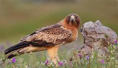 Calzada (Alberto GS) Tags: aguila calzada rapaces birds aves extremadura