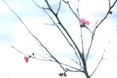 咲 (atacamaki) Tags: xt2 50140 xf f28 rlmoiswr fujifilm jpeg撮って出し atacamaki spring ume plum nature japan ibaraki kasumigaura 梅 かすみがうら