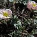 pink buttercup, Beckwithia andersonii (=Ranunculus andersonii)